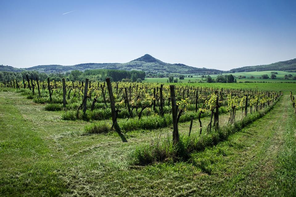 Maďarské vinice